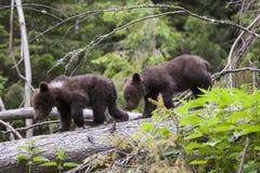 Pares de passeio do urso do bebê Keep Imagem de Stock