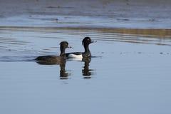 Pares de pato adornado que estão flutuando no rio na primavera Imagem de Stock
