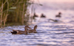 Pares de pato cinzento do Norte da Europa Imagens de Stock