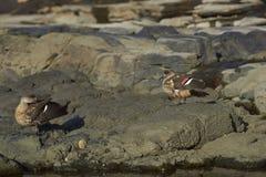 Pares de pato com crista na ilha de Saunders Fotos de Stock