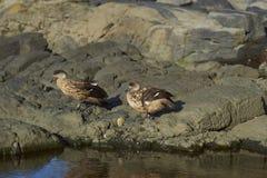 Pares de pato com crista na ilha de Saunders Fotos de Stock Royalty Free