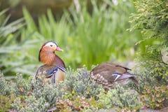 Pares de pato de mandarino Foto de Stock Royalty Free