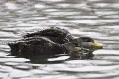 Pares de pato preto americano, rubripes dos Anas com neve Imagem de Stock Royalty Free