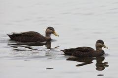Pares de pato preto americano, rubripes dos Anas na cena quieta Fotos de Stock Royalty Free