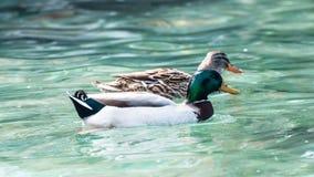 Pares de pato selvagem Foto de Stock Royalty Free