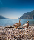 Pares de patos Fotografía de archivo libre de regalías