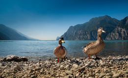 Pares de patos Fotografia de Stock Royalty Free