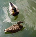 Pares de patos Foto de archivo libre de regalías