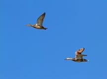Pares de patos cinzentos do Norte da Europa Fotografia de Stock