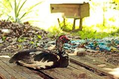 Pares de patos con los huevos coloridos Imagen de archivo