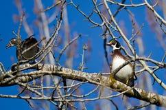 Pares de patos de madera encaramados en un árbol Fotografía de archivo libre de regalías