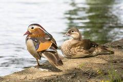Pares de patos de mandarín. Foto de archivo