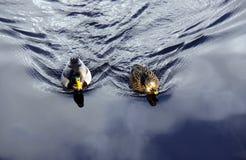 Pares de patos del pato silvestre Foto de archivo libre de regalías