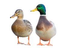 Pares de patos del pato silvestre Foto de archivo
