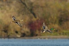 Pares de patos del pato silvestre Imagen de archivo libre de regalías