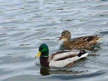 Pares de patos del pato silvestre, Imagen de archivo libre de regalías