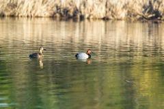 Pares de patos del pelirrojo Foto de archivo libre de regalías