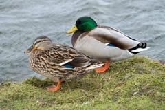 Pares de patos do pato selvagem fotografia de stock
