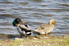 Pares de patos do pato selvagem Imagem de Stock