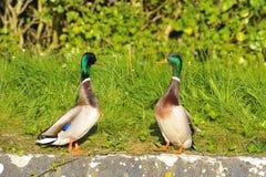 Pares de patos do pato selvagem Foto de Stock Royalty Free