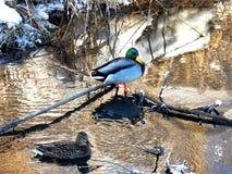 Pares de patos do pato selvagem no rio Fotos de Stock