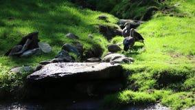 Pares de patos grises, en hierba, el caminar del lado, estabilizado metrajes