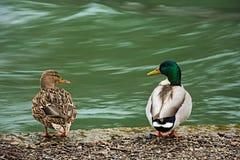 Pares de patos no amor Fotos de Stock