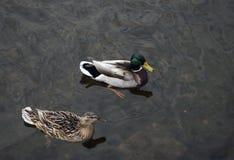 Pares de patos que flotan en el agua Fotos de archivo libres de regalías