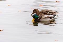 Pares de patos que nadan en un agua Fotos de archivo