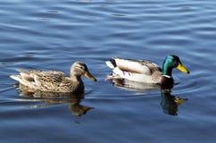 Pares de patos selvagens Fotografia de Stock