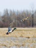Pares de patos selvagens do vôo Fotografia de Stock Royalty Free