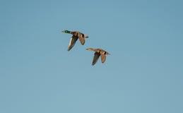 Pares de patos selvagens (platyrhynchos dos Anas) Imagens de Stock Royalty Free
