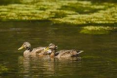 Pares de patos silvestres masculinos en plumaje del eclipse Fotografía de archivo libre de regalías