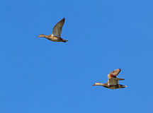 Pares de patos zambullidores Fotografía de archivo