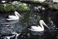 Pares de pelícanos hermosos que nadan en el parque Imágenes de archivo libres de regalías