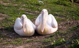 Pares de pelicanos Fotos de Stock Royalty Free