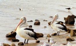 Pares de pelicanos em uma costa Imagens de Stock Royalty Free