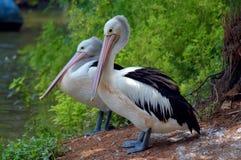 Pares de pelicanos que esperam peixes Imagem de Stock