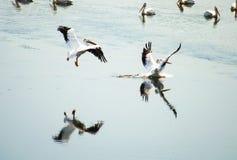 Pares de pelicanos que refletem imagens de stock