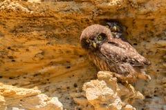 Pares de pequeños búhos o de noctua del Athene en roca imagen de archivo