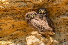 Pares de pequeños búhos o de noctua del Athene en roca foto de archivo libre de regalías