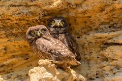 Pares de pequeños búhos o de noctua del Athene en roca imágenes de archivo libres de regalías