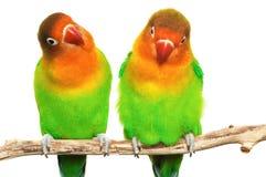 Pares de pequeños lovebirds Imagen de archivo libre de regalías