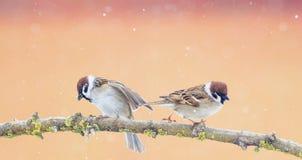 Pares de pequeños pájaros divertidos del gorrión que se sientan en una rama en el P Fotos de archivo