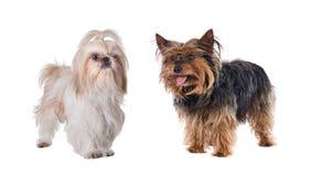 Pares de pequeños perros Fotografía de archivo