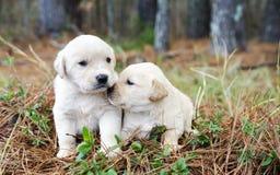 Pares de perritos del golden retriever Imagen de archivo libre de regalías