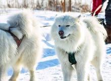 Pares de perros blancos mullidos del samoyedo en arnés portrai del primer Imagen de archivo libre de regalías