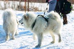 Pares de perros blancos mullidos del samoyedo en arnés portrai del primer Imagen de archivo
