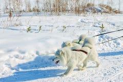 Pares de perros blancos mullidos del samoyedo en arnés portrai del primer Fotografía de archivo libre de regalías