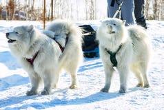 Pares de perros blancos mullidos del samoyedo en arnés portrai del primer Fotos de archivo libres de regalías